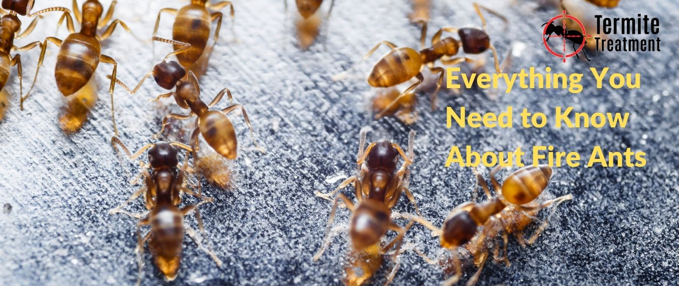 Everything You Need to Know About Fire Ants Sydney