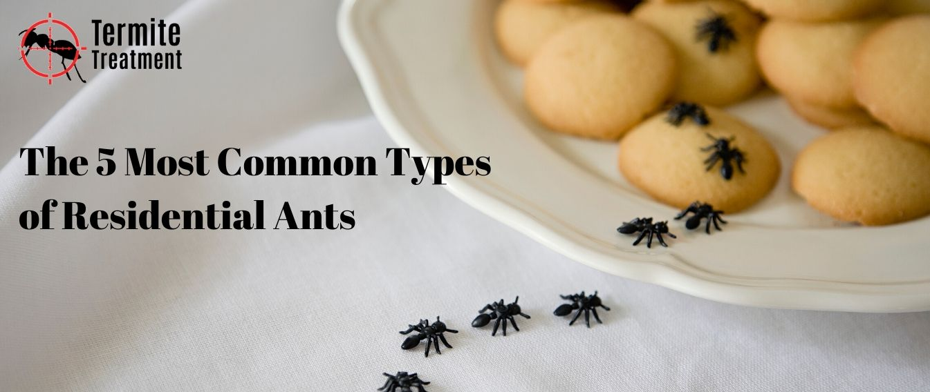 The 5 Most Common Types of Residential Ants in Sydney